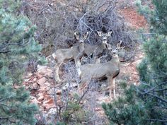 Mule deer just off the pathway at the Cedar Canyon Nature Park