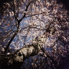 Cherry Blossoms captured by my Holga