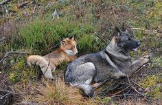 Amistad Perro y Zorro Salvaje