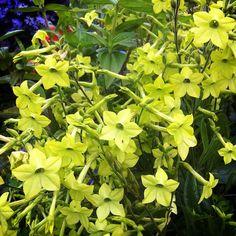 Nicotiana alata 'Lime Green' brightening the corners. @ Annie's Annuals & Perennials