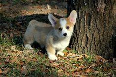 Corgi puppy SO CUTE!