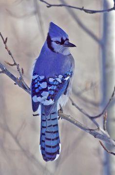 fairy-wren:    blue jay  (photo by dennis mark) - http://grandmas-dreams.tumblr.com/image/32446467532