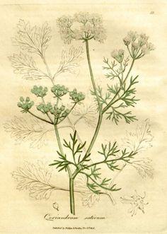 Herbář s obrázky a historií - koření a bylinky