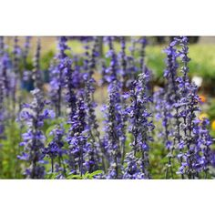 Salvia Victoria Blue, is a neat, compact bush that produces plumes of free flowering deep blue coloured blooms from spring to summer. Ideal for garden beds, pots, planters and mass planting Salvia prefers a position in full sun to partial shade and sh Types Of Flowers, Types Of Plants, Salvia Plants, Garden Beds, Colorful Flowers, Compost, Shrubs, Planters, Tray