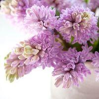 Hyacinthus Orientalis 'Splendid Cornelia', Hyacinth 'Splendid Cornelia', Dutch Hyacinth, Hyacinthus Orientalis, Common Hyacinth, Spring Bulbs, Spring Flowers, purple hyacinth,early spring bloomer, mid spring bloomer,Splendid Cornelia