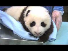 link from ZooBorns San Diego Zoo Baby Panda Update! link from ZooBorns Baby Zoo, Panda Bebe, Cute Panda, Baby Animals, Cute Animals, Baby Pandas, Beautiful Creatures, Animals Beautiful, Panda Lindo