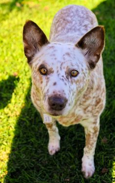 Beautiful red heeler! This is my dream color!