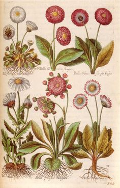 Forms of the daisy, from the Florilegium renovatum et auctum, issued by Matthaeus Merian (1641) for the house of de Bry.