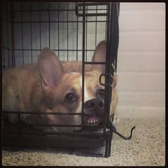 sookiethecorgi:  My dog is weird. She kenneled herself and then made faces at me!