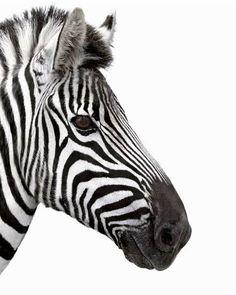 Image Maker, Zoo Art, Wildlife Art, Black And White Photography, Animal Photography, Graphic Art, Canvas Art, Art Prints, Wall Art