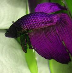 purple beta, if I ever find a purple beta fish I will have to buy it!!!