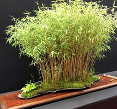 Wondering How Bonsai Trees Are Made? Indoor Bonsai, Bonsai Plants, Indoor Plants, Indoor Gardening, Air Plants, Cactus Plants, Modern Japanese Garden, Japanese Garden Plants, Garden Terrarium
