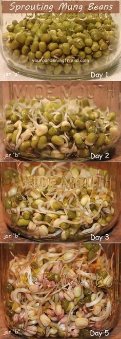 Sprouting 101 homemade sprouting jars tutorial diy mason jars mung beans take a few days to sprout but your part takes literally seconds to do two or three times each day and some beans like mung beans can be solutioingenieria Image collections