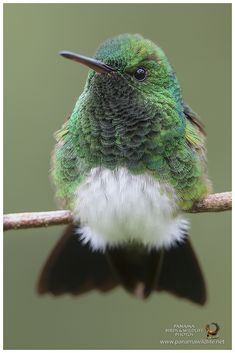 "Male Snowy-bellied or Snowy-breasted Hummingbird ""Amazilia henry"" Pretty Birds, Love Birds, Beautiful Birds, Animals Beautiful, Exotic Birds, Colorful Birds, Hummingbird Pictures, Kinds Of Birds, Tier Fotos"