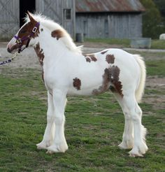 Skipper | Westmoreland Gypsy Vanner Horses For Sale Baby Horses, Cute Horses, Pretty Horses, Horse Love, Most Beautiful Horses, Animals Beautiful, Adorable Animals, Beautiful Creatures, Gypsy Horse