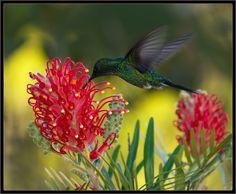 beija-flor, hummingbird