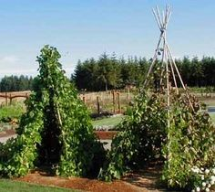 Green Bean Teepees ... totally going to do this... austyn will love it