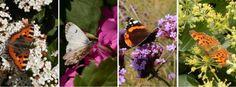 Van zeer vroeg tot laat in het jaar bloeiende planten: v.l.n.r. kleine vos op sneeuwbal, oranjetipje vrouwtje op judaspenning, atalanta op ijzerhard en gehakkelde aurelia op klimop (foto's: Kars Veling)
