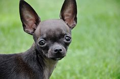 Chihuahua minus. chihuahua