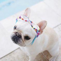Piggy, French Bulldog in Swim goggles ❤️  @piggyandpolly on instagram