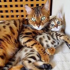 Whiskers On Kittens, Cats And Kittens, Kittens Cutest, Cute Cats, Kitten Mittens, Bengal Kitten, Fancy Cats, Super Cute Animals, Cat Drawing