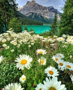 """Daisy Fields at Emerald Lake, Yoho National Park 🌼 🌼 🌼 Photo by Claudio Bezerra"" Imagen Natural, Valley Landscape, Paradise Landscape, Daisy Field, Yoho National Park, Banff National Park Canada, National Forest, Nature Pictures, Best Nature Photos"