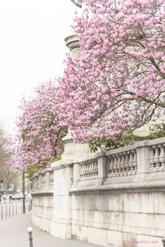 Magnolias in Paris by Georgianna Lane