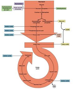 Metabolic Pathways of Energy Use