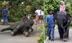 Heartbreaking pictures of baby elephant forced to perform tricks for tourists in Thailand sparks petition to have her freed... just weeks after a calf was pictured being ridden around a pool by drunk tourists  PLEASE SIGN AND SHARE WIDELY IN CONDEMNATION!