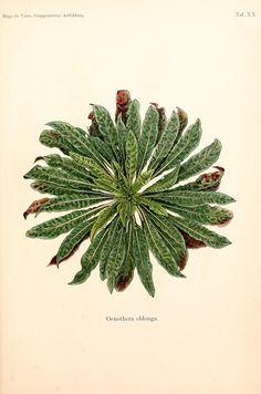 Gruppenweise artbildung unter spezieller berücksichtigung der gattung Oenothera,. Berlin,Gebrüder Borntraeger,1913.. biodiversitylibrary.org/page/1853939