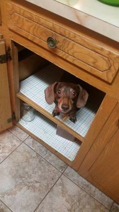 Doxie in cabinet