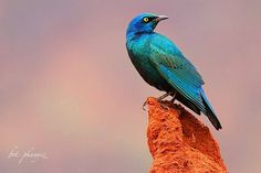 Greater Blue Eared Glossy Starling / Lamprotornis chalybaeus