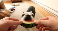 Do your Dog(s) Love to Eat Watermelon?! - See How much Hugo loves it ► http://www.bterrier.com/?p=22335 - https://www.facebook.com/bterrierdogs