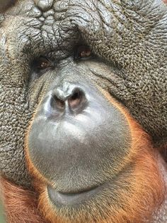 "‪#‎ApeSpotlight‬ Christopher and his older brother, Pongo, were infants at a Florida tourist attraction and became the first orangutan residents at the sanctuary. Typically, adult male orangutans with full facial flanges (known as ""cheekpadders"") would not tolerate another male in their territory, but since they grew up together, Chris and Pongo have a brotherly bond and still enjoy visiting each other as adults."