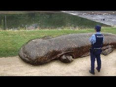 In 2014 a giant salamander emerged from the Kamo River in Japan. Landed appearances of the giant creature are considerably rare due to them making their home underwater and being only active at night. Japanese giant salamanders are the second-largest salamanders on Earth, surpassed only by the closely related Chinese giant salamander. They feed on insects, frogs, crabs, shrimp, and fish; but since the 1950s, their population has declined rapidly due to habitat destruction and overhunting.