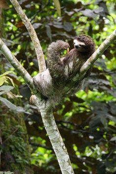 Sloth in Costa Rica. <3 2011 042 Costa Rica Manzanillo074 by ngari.norway, via Flickr