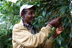 Making a living from farming coffee in Ethiopia can be a struggle. Many farmers… Coffee Farm, Coffee Is Life, International Development, Red Berries, People Around The World, Ethiopia, Things To Come, African, Working People