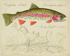Rainbow Trout - inch limited edition print by Matt Patterson, trout print, fly fishing, adirondack decor Fishing Reels, Fishing Tips, Fly Fishing, Fishing Videos, Trout Fishing, Fishing Boots, Fishing Basics, Salmon Fishing, Adirondack Decor