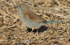 Birding Trip Report: Kameelfontein with Rihann Geyser and Ben Fouche. Gathering data for Southern African Bird Atlas Project 2 pentad. Bird Gif, Bird Watching, African, Blue, Animals, Animales, Animaux, Animal, Animais
