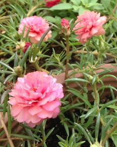 Portulaca Flowers, Portulaca Grandiflora, Planting Flowers, Ice Plant, All Flowers, Beautiful Roses, Garden Landscaping, Gardening, Landscape
