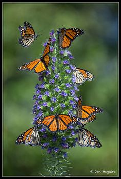 Monarch butterflies congregate at the alluring 'Pride of Madeira' butterfly plant. Butterfly Effect, Butterfly Kisses, Butterfly Flowers, Butterfly Wings, Monarch Butterfly Images, Butterfly Bush, Butterfly Pictures, Beautiful Bugs, Beautiful Butterflies