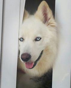 My blue eye boy, huskies. Waiting patiently.