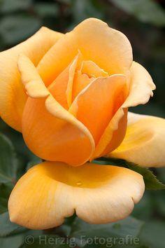 """Роза """"Королева Медь"""" - Роза"""