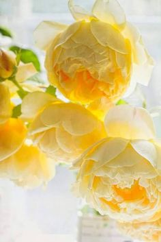 Yellow flowers​ always make me happy so yellow peonies is absolute bliss! My Flower, Fresh Flowers, Beautiful Flowers, Beautiful Beautiful, Peony Flower, Yellow Peonies, Yellow Flowers, Yellow Plants, Pastel Yellow