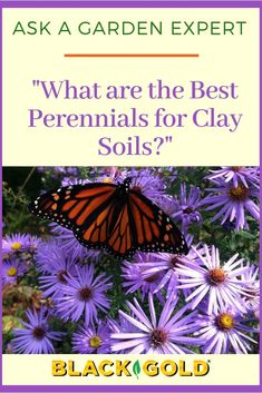 """Question: """"What are the best perennials for clay-based soils?"""" Answer: """"There are lots of exceptional perennials adapted to clay soils, and many of the best are regional natives. Long Blooming Perennials, Perennial Grasses, Best Perennials, Hardy Perennials, Flowers Perennials, Porch Plants, Outdoor Plants, Clay Soil Plants, Wooden Garden Planters"""