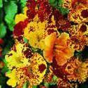 Mimulus cupreus, 'hybridus tigrinus' Seeds £1.75 from Chiltern Seeds - Chiltern Seeds Secure Online Seed Catalogue and Shop