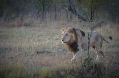 a week in the bush: vol 50 Private Games, Game Reserve, Big Cats, Tigers, Lions, South Africa, Safari, Bears, This Is Us