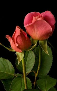 The miniature rose plant itself can grow to a height of four to five feet thus you can grow miniature roses in your garden. Beautiful Rose Flowers, Love Rose, Exotic Flowers, Beautiful Flowers, Orange Roses, Red Roses, Rose Flower Pictures, Rose Wallpaper, Rose Buds