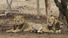india lions images - Google Search
