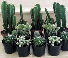 Mini Cactus Garden, Succulent Gardening, Cacti And Succulents, Planting Succulents, Garden Plants, Indoor Plants, Planting Flowers, Mini Cactus Plants, Decoration Cactus